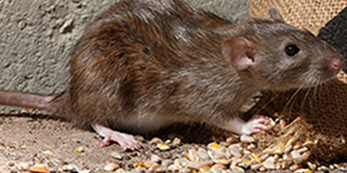Rodent Pest Control Richmond VA